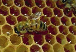 Tradicinis lieknėti nusprendusio klausimas. O kaip medus?